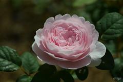 """Rose """"Queen of Sweden"""""""