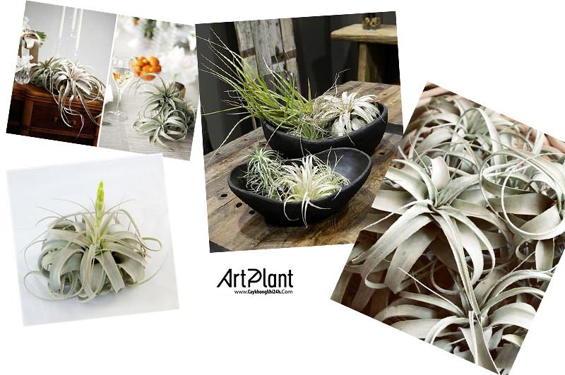 art plant | cay khong khi | tieu canh khong khi | terrarium | khong khi nu hoang
