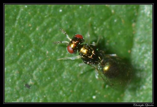Eulophidae/Entedoninae (Chrysocharis sp. ?)