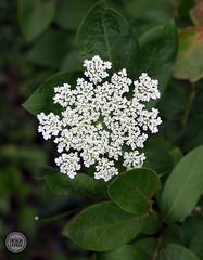 apiales, flower, branch, leaf, plant, flora,