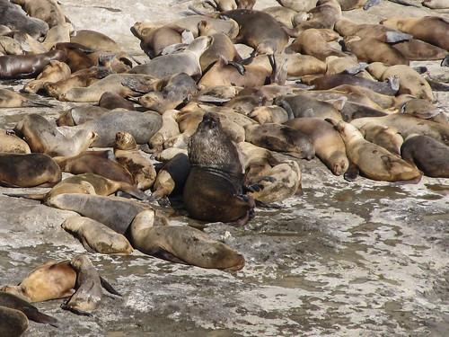Puerto Piramídes: un lion de mer mâle (crinière)