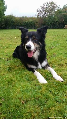 Mon, Oct 31st, 2016 Lost Male Dog - Monbeg Street, Ballindaggan, Wexford