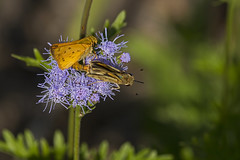 Mating Fiery Skippers
