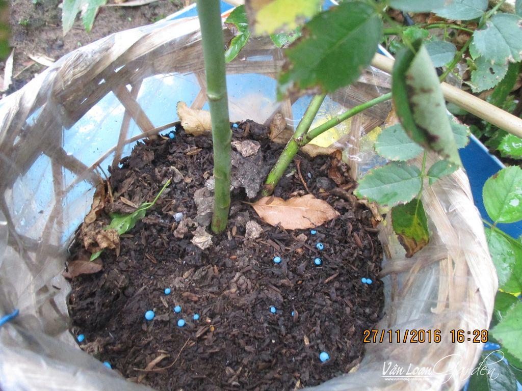 Phân bón gốc cho cây hồng thà để ít, cây ít dinh dưỡng tí cũng không sao. Còn LỠ TAY để nhiều thì cây RA ĐI còn lẹ hơn là bị nấm bệnh!