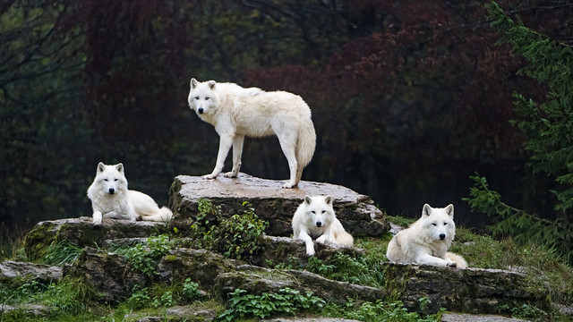 Four arctic wolves posing well