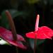紅 - Anthurium -