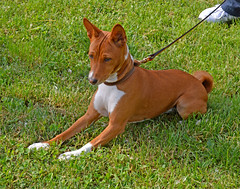 dog breed, animal, hound, dog, cirneco dell'etna, pet, podenco canario, ibizan hound, carnivoran, basenji, terrier,