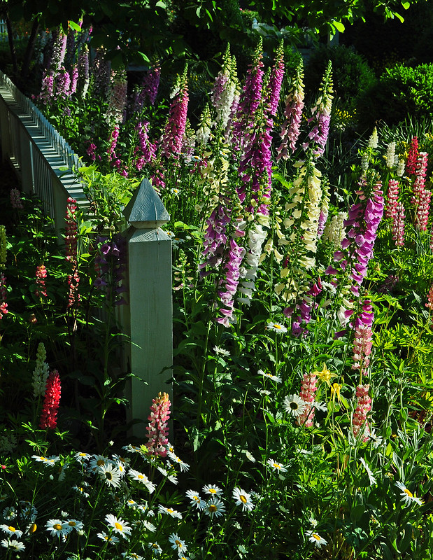 Lupinus 'The Chatelaine' with Digitalis 'Foxy Hybrids'
