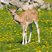 Small photo of Young Eland