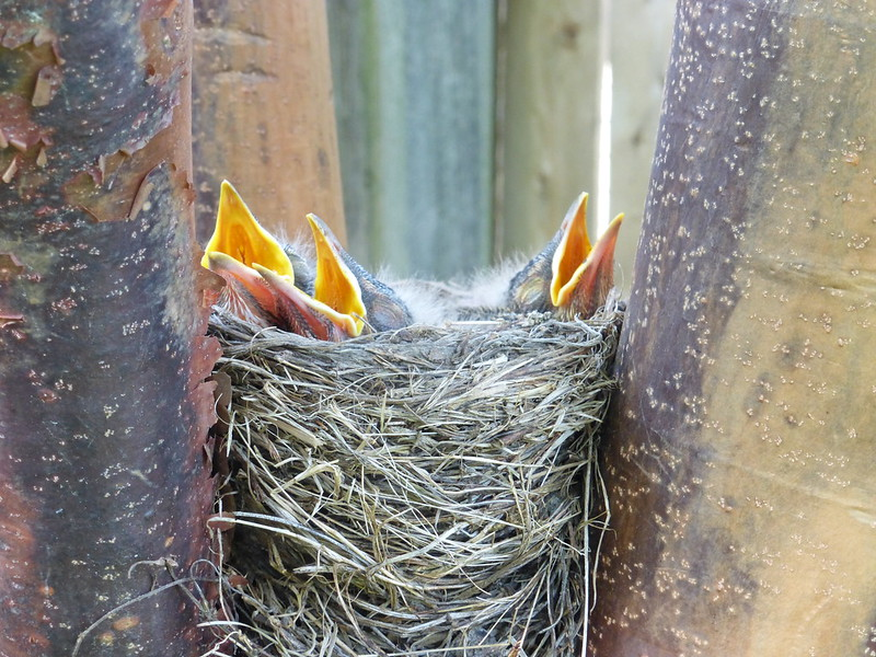 photo of robin's nest