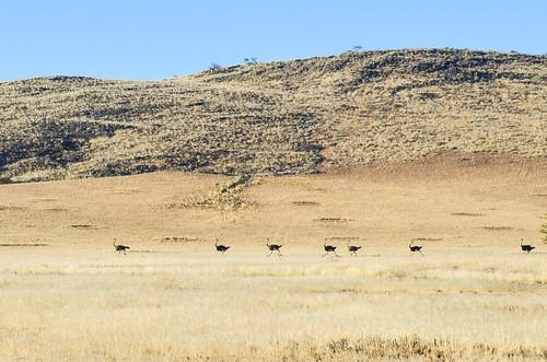 Ostriches in Twyfelfontein