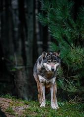 森林裡的狼(圖片來源:Bulbexposure)