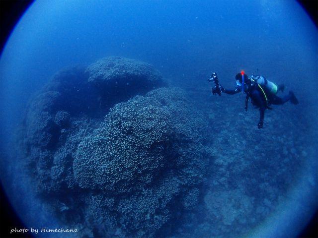 大きなコモンシコロサンゴ!