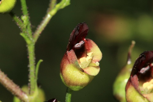 Common Figwort 30303
