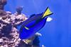 Flametail surgeonfish