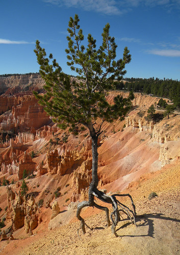 Struggling Pine in Bryce Canyon National Park