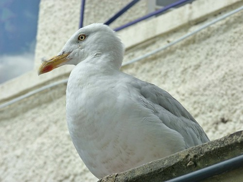 Herring Gull?