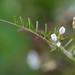 HAIRY TARE (Vicia hirsuta)