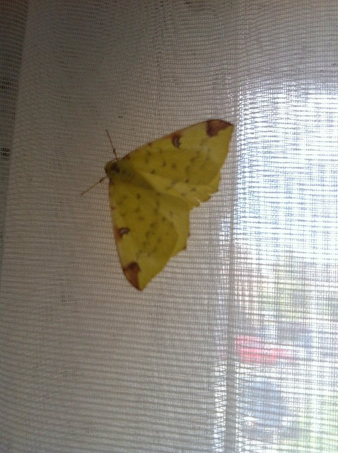 Pretty moth/butterfly on the net curtain