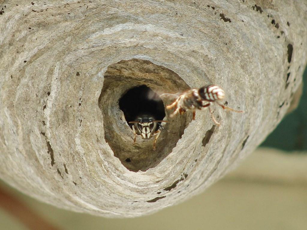 Bald-faced Hornet.