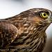 Sharp-Shinned Hawk, Cape May NJ