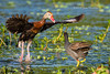 Black-bellied Whistling Duck takes flight