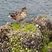 Mom duck and her babys in  lake garda. Lago di Garda.