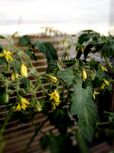 Blossoms of Riesentraube Tomato