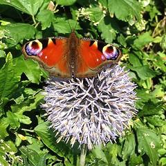 Butterfly #pretty butterfly #echinops