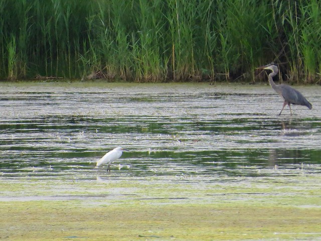 Snowy Egret and Great Blue Heron - Pipe Creek Wildlife Area - Sandusky, OH