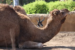 alpaca(0.0), wildlife(0.0), animal(1.0), mammal(1.0), fauna(1.0), camel(1.0), arabian camel(1.0),