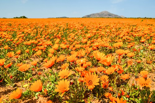 Orange flowers in Namaqualand