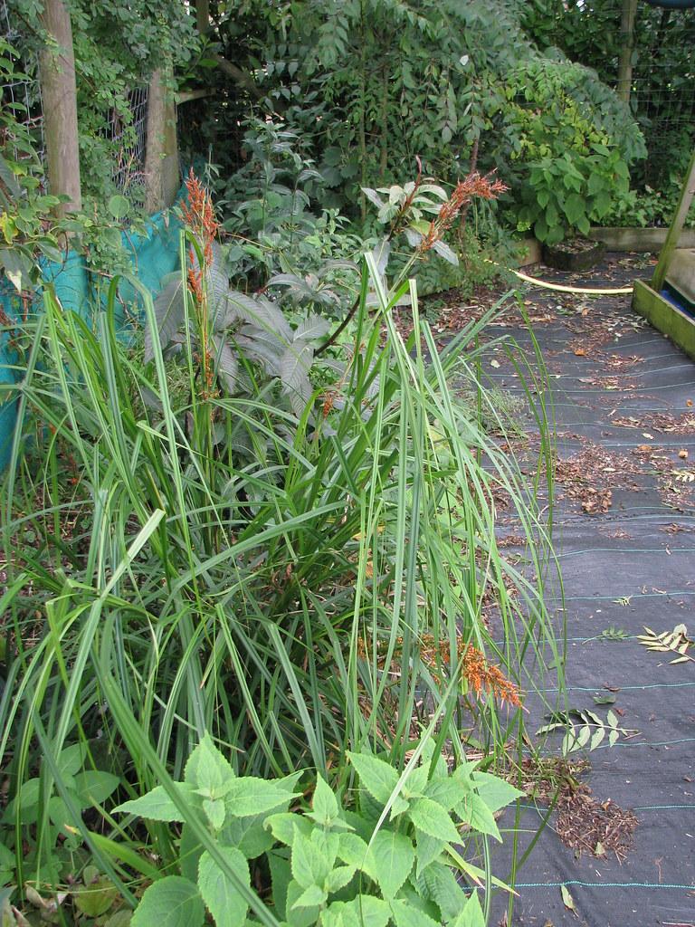 Carex baccans