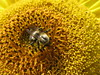 Busy Bumblebee on a Sunflower