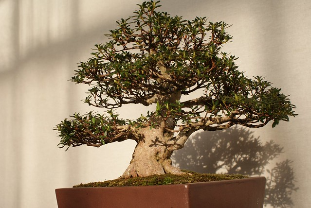 Un bonsai assis confortablement sur son tronc.