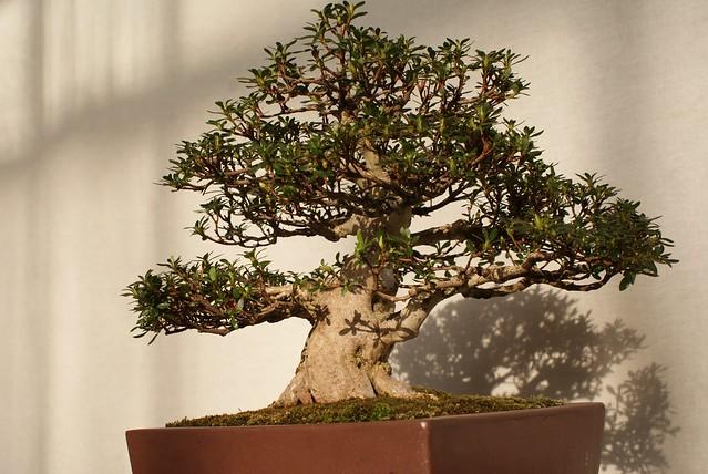Un bonsai assis confortablement sur son tronc.