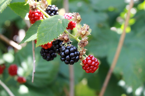 blackberries, raspberries, berry bush