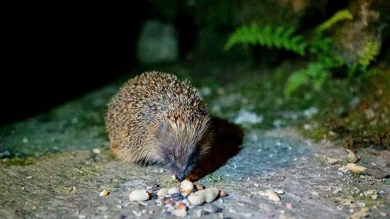 Hedgehog at Forest How