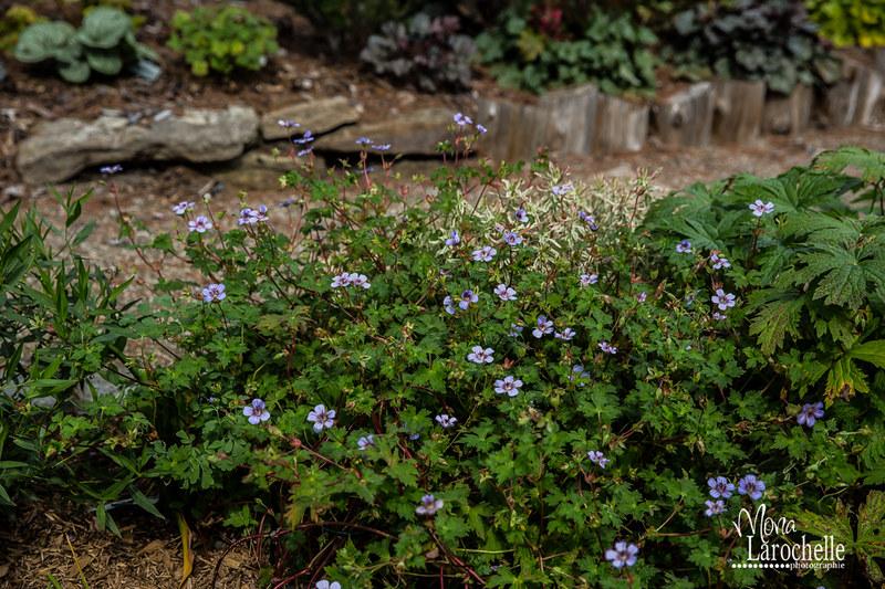 Geranium wallichianum 'Crystal Lake' 15203434561_835088318e_c
