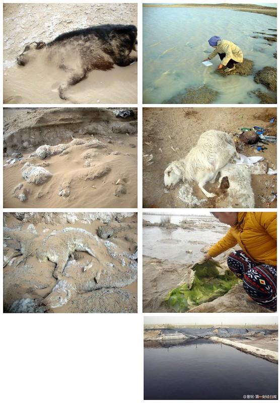 2013年6月鄂爾多斯草原的中石油排污事件導致大量牲畜死亡。圖片來源:林吉洋