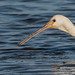 Eye of the Spoonbill