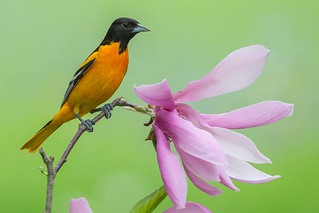 Baltimore Oriole - Sandra Rothenberg