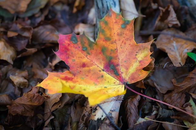 Autumn leaves, Fujifilm X-T1, XF90mmF2 R LM WR