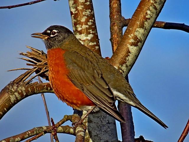 American Robin, Marymoor Park, Redmond, WA 12/6/16