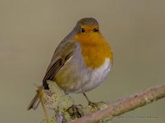 Robin at Nene Park 05/12/16