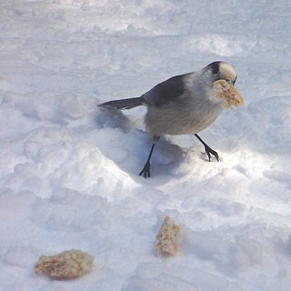 Whiskey Jack, the Gray Jay