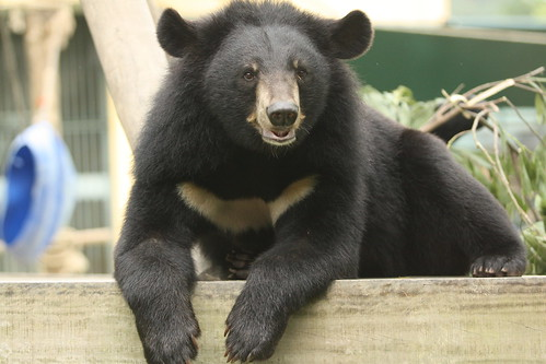 Thao - a glorious handsome moon bear at VBRC