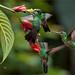 Green-crowned Brilliant Females Feeding by Raymond J Barlow