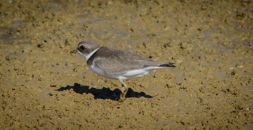 bird kentucky morehead shorebird semipalmatedplover minorclarkfishhatchery