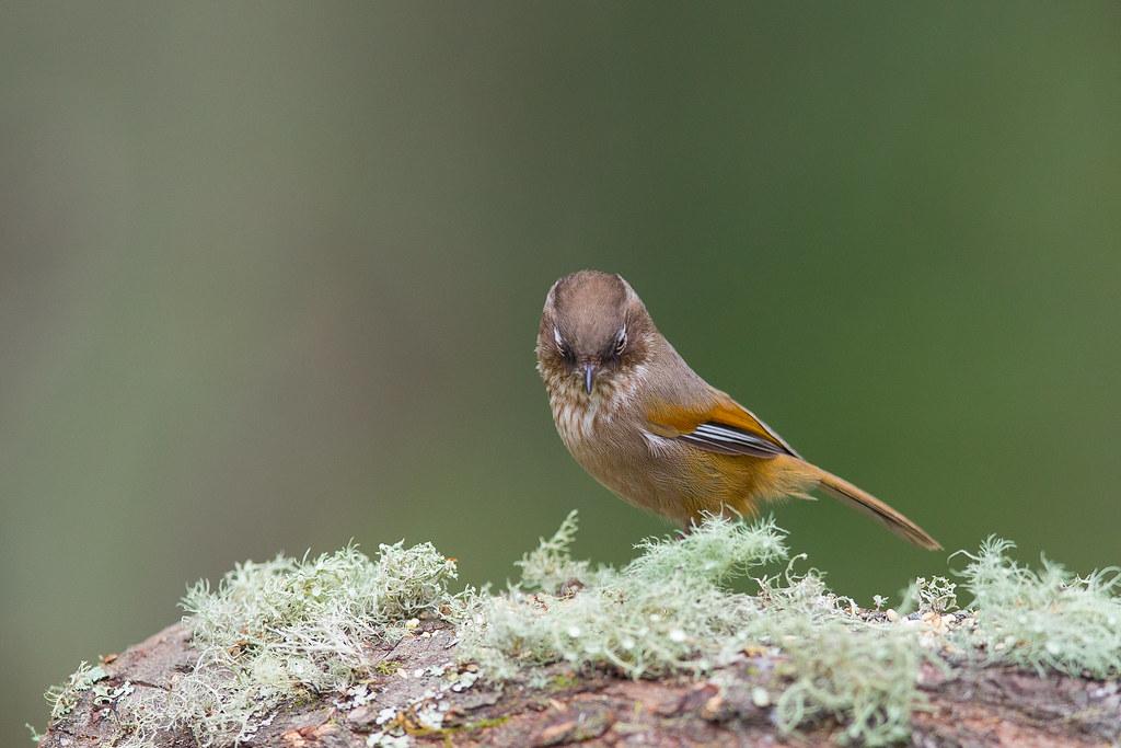褐頭花翼-1072